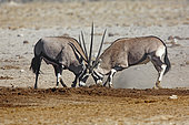 Gemsbok (Oryx gazella) fight, Etosha, Namibia