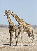 Angolan Giraffe (Giraffa camelopardalis angolensis) courtship, Etosha, Namibia