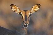 Black-faced Impala (Aepyceros petersi), Etosha, Namibia
