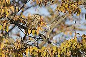 Southern Red-billed Hornbill (Tockus rufirostris), Etosha, Namibia