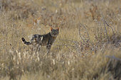 African Wild cat (Felis silvestris lybica), Etosha, Namibia