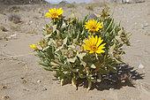 Didelta (Didelta spinosa), Ais-Ritchersveld, Namibia