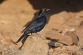 Pale-winged Starling, Twyfelfontein, Namibia, August 2013