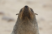 Cape fur seal (Arctocephalus pusillus), Cape Cross, Namibia
