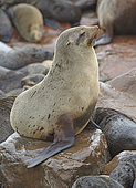 Cape fur seal (Arctocephalus pusillus), Cape Cross, Namibia