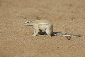 Cape ground Squirrel (Xerus inauris), Solitaire, Namibia
