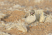 Scaly-feathered finch (Sporopipes squamifrons), Sossuvlei, Namibia