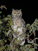 Spotted Eagle-owl (Bubo africanus), Sesriem, Namibia
