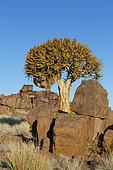 Kokerboom (Aloidendron dichotoma), Keetmanshoop, Namibia Kokerboom forest, Namibia