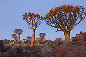 Kokerboom (Aloidendron dichotoma) forest, Keetmanshoop, Namibia Kokerboom forest, Namibia