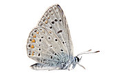 Common Blue (Polyommatus icarus) on white background, Homme mort pass, Drome, Provence, France
