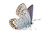 Silver-studded Blue (Plebejus Argus) on white background, Rémuzat, Drome, Provence, France