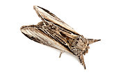 Swallow prominent (Pheosia tremula) on a white background, Vaucluse, Provence, France