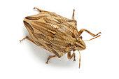 Shield-back bug (Odontotarsus robustus) on white background, Vaucluse, Provence, France