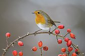 European robin (Erithacus rubecula), sitting on a wild rose branch with red fruits, rose hips, Swabian Alb Biosphere Reserve, Baden-Württemberg, Germany, Europe