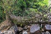 Living Root Bridge, Sohra or Cherrapunjee, Meghalaya, India, Asia