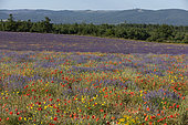 Lavender and wildflowers plantation, Plateau de Sault, Vaucluse, Provence, France