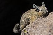Southern Viscacha (Lagidium viscacia), Altiplano & Puna, San Pedro de Atacama, Chile