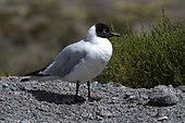 Andean Gull (Larus serranus), Altiplano & Puna, Chili