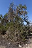 Tamarugo (Prosopis tamarugo), Endangered Desert Tree, Atacama Desert, Chile