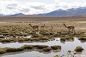 Vicugna (Vicunia vicunia) on altiplano, El Tatio Atacama Chili