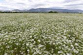 Coriander (Coriandrum sativum) field, Plateau de Valensole, Provence, France