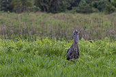 Shoebill (Balaeniceps rex) in a swamp, Mabamba bay, Lake Victoria, Uganda