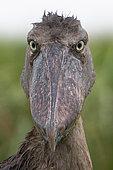 Portrait of Shoebill (Balaeniceps rex), Mabamba bay, Lake Victoria, Uganda