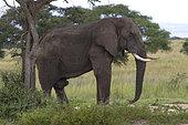 African Elephant (Loxodonta africana), Murchison Falls National Park, Uganda