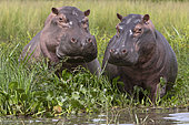 Hippopotamus (Hippopotamus amphibius) at the edge of water, Murchison Falls National Park, Uganda
