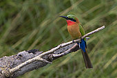 Red-throated bee-eater (Merops bulocki) on a branch, Murchison Falls National Park, Uganda