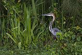 Goliath Heron (Ardea goliath) in a swamp, Murchison Falls National Park, Uganda