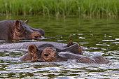 Hippopotamus (Hippopotamus amphibius) in water,Queen Elizabeth National Park, Uganda