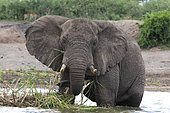 African elephant (Loxodonta africana) eating in water,Queen Elizabeth National Park, Uganda