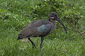 Hadada Ibis (Bostrychia hagedash) in grass, Queen Elizabeth National Park, Uganda