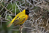 Black-headed weaver (Ploceus melanocephalus) on a branch, Queen Elizabeth National Park, Uganda