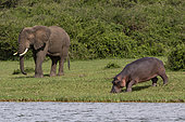 African elephant (Loxodonta africana) and Hippopotamus (Hippopotamus amphibius) eating on bank,Queen Elizabeth National Park, Uganda