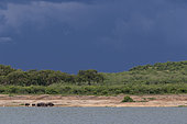 Cape buffalo (Syncerus caffer) on the shores of Lake Edouard, Queen Elizabeth National Park, Uganda