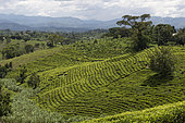 Tea Plantations, Southwest Uganda