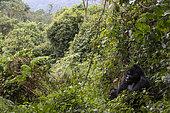 Mountain gorilla (Gorilla gorilla berengei), Uganda