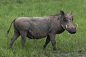 Warthog (Phacochoerus africanus), Lake Mburo National Park, Uganda