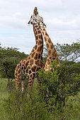 Rothschild's giraffe (Giraffa camelopardalis rothschildi), Lake Mburo National Park, Uganda