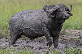 African Buffalo (Syncerus caffer) mud bath, Lake Mburo National Park, Uganda