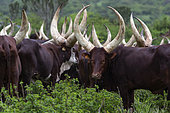 Ankolé Cows, Sacred Cow of Africa, Kingdom of Ankolé, Uganda