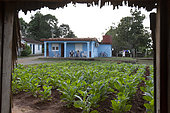 Tobacco field and small painted house, Vinales National Park, Cuba