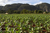Tobacco field, Vinales National Park, Cuba