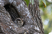 Cuban screech owl (Margarobyas lawrencii) in a trunk, Cuba