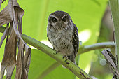 Cuban screech owl (Margarobyas lawrencii) on a branch, Cuba