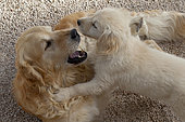 Golden retriever dog and puppy playing, Provence, France