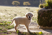 Portrait of Golden retriever puppy, Provence, France